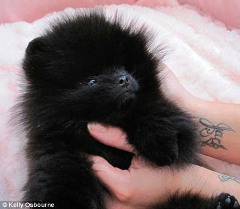 Kelly Osbourne Pomeranian Dog - Sid
